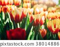 Tulip Flowers in the Morning , Nature in Spring  38014886