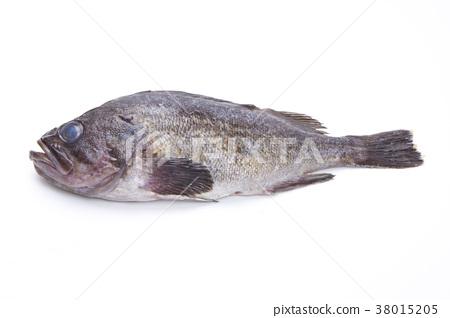 石斑魚的魚 38015205