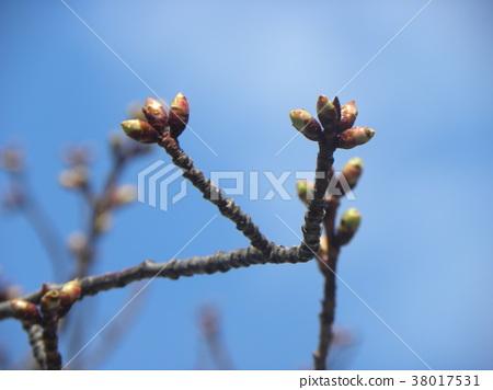 카와즈자쿠라, 카와즈 벚나무, 꽃봉오리 38017531