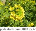 油菜花 强奸的花朵 花椰菜和芥蓝的杂交品种 38017537