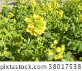 油菜花 强奸的花朵 花椰菜和芥蓝的杂交品种 38017538