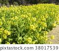 油菜花 强奸的花朵 花椰菜和芥蓝的杂交品种 38017539