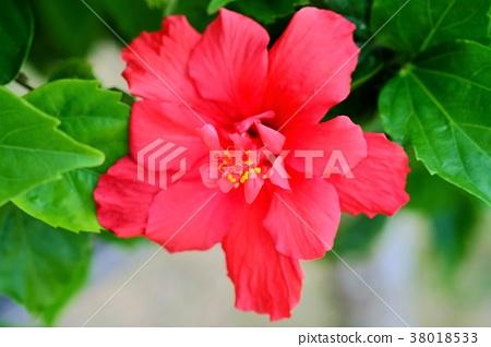 히비스커스 꽃 (정면) 38018533