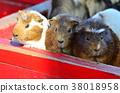荷蘭豬 動物 動物園 38018958