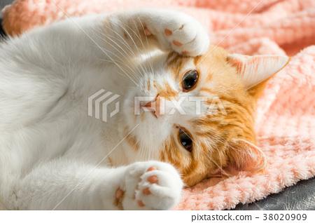 귀여운 솜털 차 흰색 호랑이 고양이 38020909