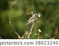 花贼(Hyodori吃一个小叶) 38023240