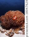 오셀라리스 클라운피쉬, 흰동가리, 말미잘 38047629