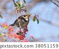 畫眉鳥 鳥兒 鳥 38051159