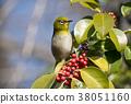 鞏膜 繡眼鳥科 小鳥 38051160