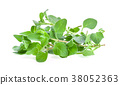 oregano, white, background 38052363