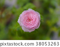 Mon Coeur Pink Japanese Rose 38053263