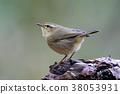 Buff-throated Warbler Cute Birds of Thailand 38053931