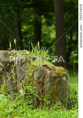 Summer forest Hikageno Kazura Tree roots 38054848