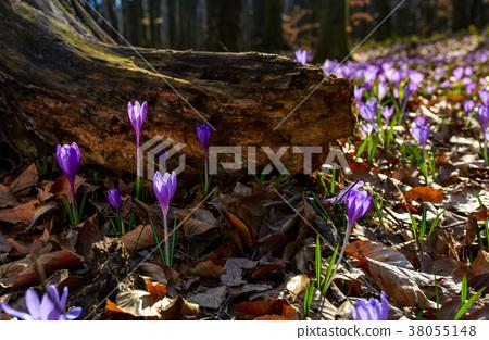 purple saffron flowers under the stump in forest 38055148