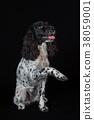 Beautiful female spaniel raises his paw on black 38059001