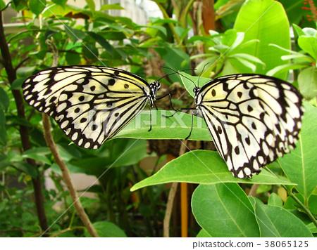 白花蝴蝶,葉子之間活著 38065125