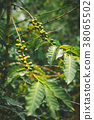 Cultivated local coffe plantage. Branch with green 38065502