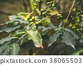 Cultivated coffe plantage. Branch with green 38065503