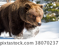 bear, animal, grizzly 38070237