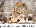 사자, 라이언, 동물 38071441