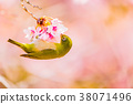 white-eye, white eye, winter cherry blossoms 38071496