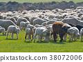 羊 绵羊 羊群 38072006