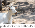 Goat in the zoo, Thailand 38075453