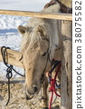 Tied Light brown horse with the wooden fence  38075582