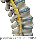 Spinal Cord 38079054