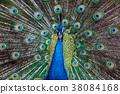 peafowl, peacock, bird 38084168