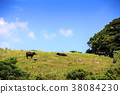cow, cattle, cows 38084230