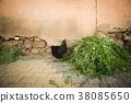 鸡鸡鸡草自由放养牧羊人黑鸡摩洛哥有机鸡蛋大农场家禽种田养鸡场 38085650