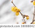 wintersweet, japanese allspice, bloom 38088042