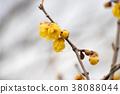 wintersweet, japanese allspice, bloom 38088044