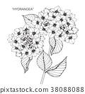 Hydrangea flower drawing illustration. 38088088