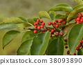 鐵冬青 水果 紅色 38093890