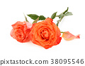 Coral roses on white. 38095546