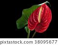 Red Anthurium. 38095677