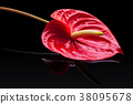 Red anthurium . 38095678