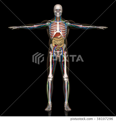 解剖学 肉 肉体 38107296