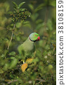 Rose-Ringed Parakeet  eating fruit  38108159
