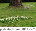 white clover, lawn, fresh verdure 38115575