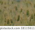 barley, wheat, grain 38115611