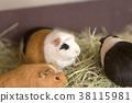오무 타시 동물원 기니피그 38115981