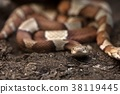 Brown venomous snake on the ground 38119445