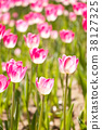 Pink color blooming tulip flower on garden 38127325