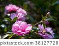 연 분홍빛 산다화 꽃과 햇빛 38127728