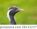 Portrait of  demoiselle crane 38133237