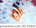 fish, fishes, anemone fish 38135842