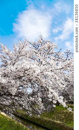 櫻花季節 38136850